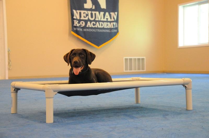 Sammie (English Lab) - Boot Camp Dog Training