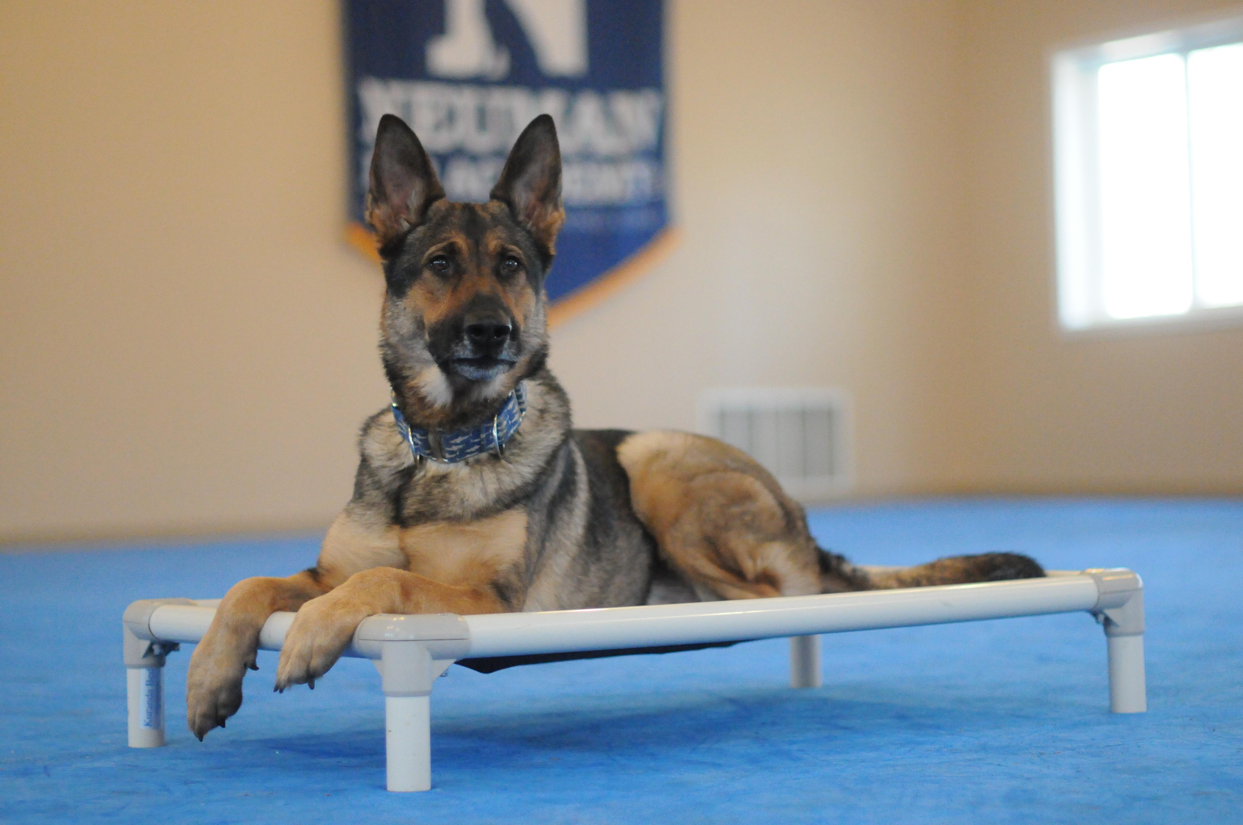 Shafer (German Shepherd) - Boot Camp Level III. Dog Training