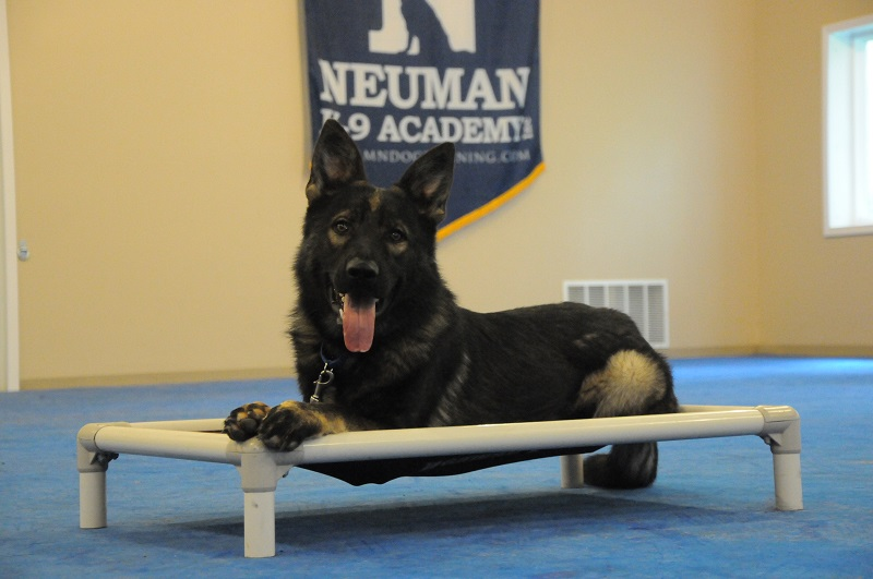 Sherlock (German Shepherd) - Obedience Training