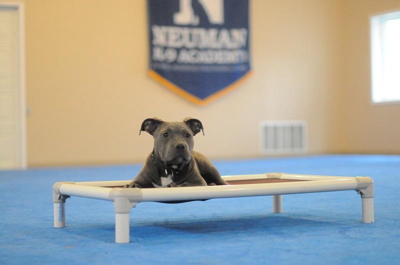 Snowball (APBT) - Puppy Camp Level I. Dog Training