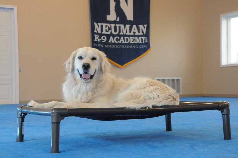 Stanley (Golden Retriever) - Boot Camp Dog Training