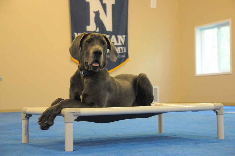 Alecs (Great Dane) - Boot Camp Dog Training
