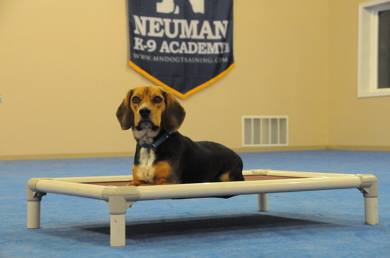 Anze (Beagle) - Boot Camp Dog Training