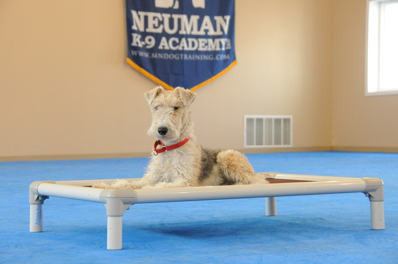 Archie (Wire Hair Fox Terrier) - Boot Camp Dog Training