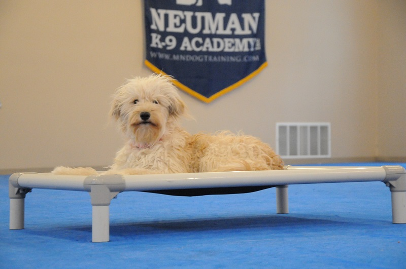Bailey (Goldendoodle) - Boot Camp Dog Training