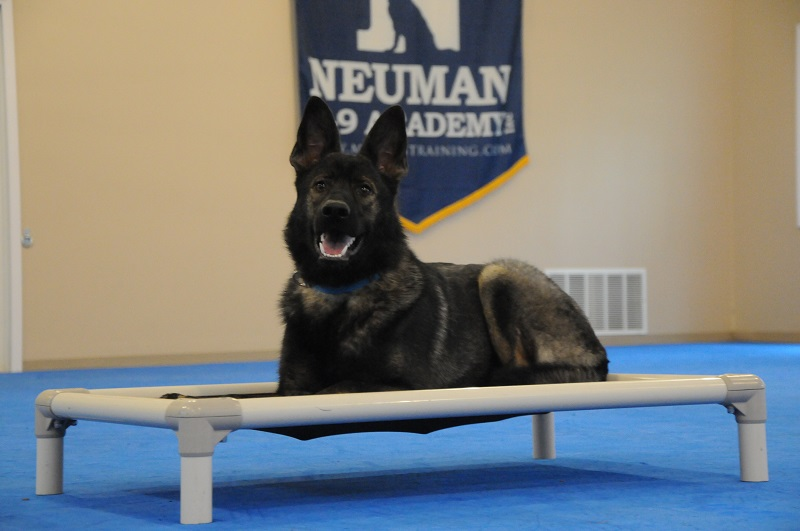 Bay-a (German Shepherd Dog) - Boot Camp Dog Training