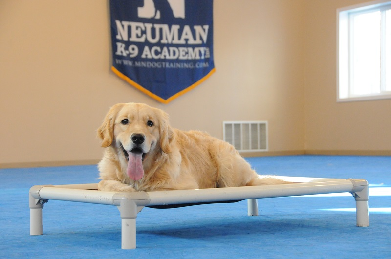 Bella (Golden Retriever) - Boot Camp Dog Training