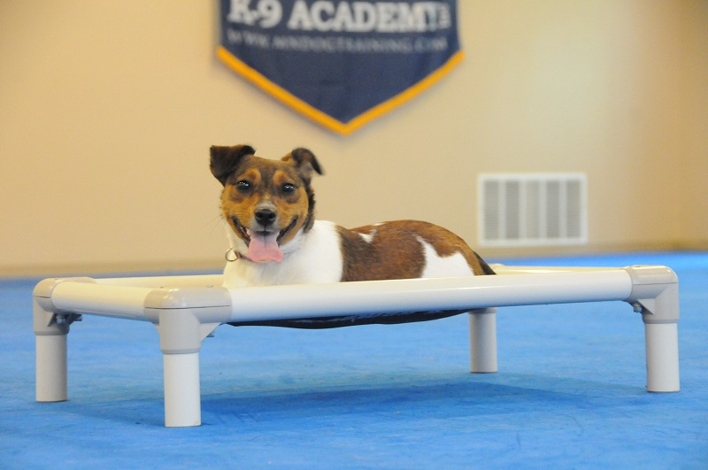Bella (Jack Russel Terrier) - Boot Camp Dog Training