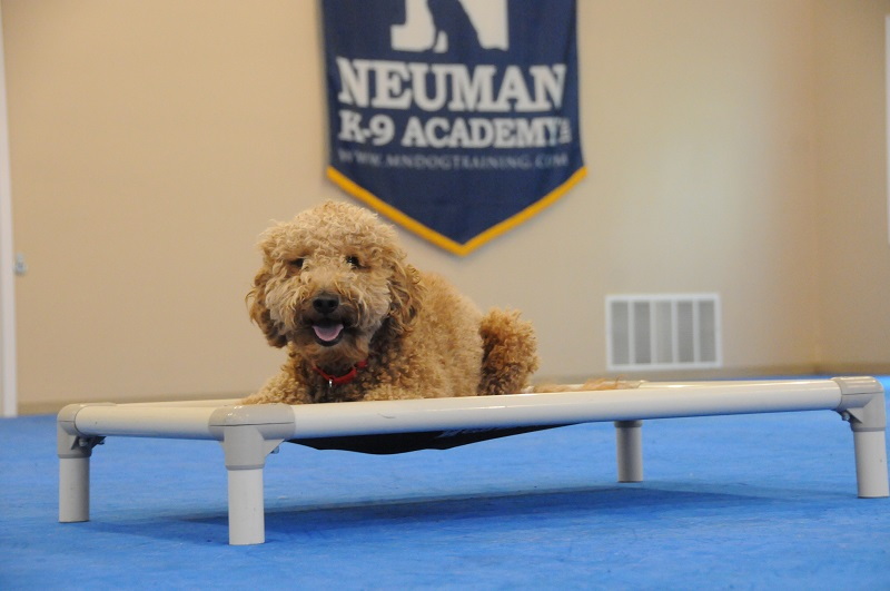 Bentley (Goldendoodle) - Boot Camp Dog Training