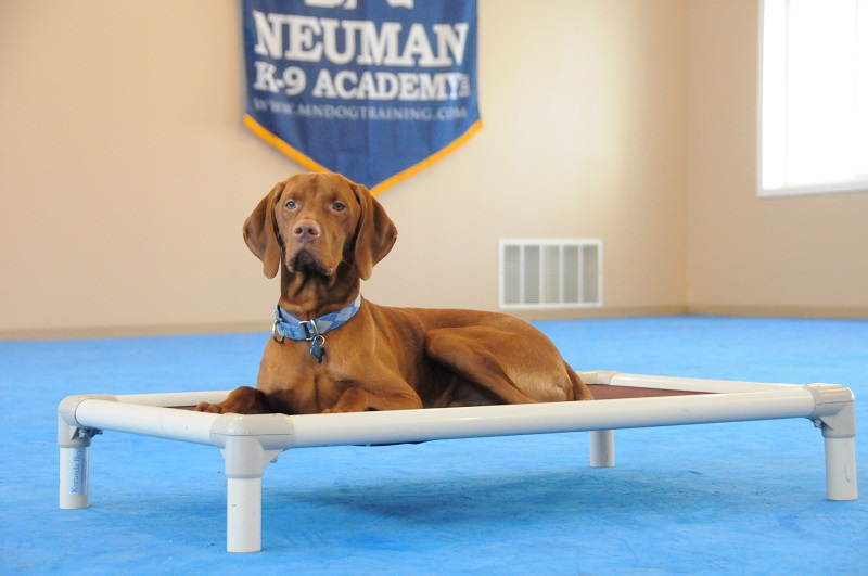 Blaze (Vizsla) - Boot Camp Dog Training