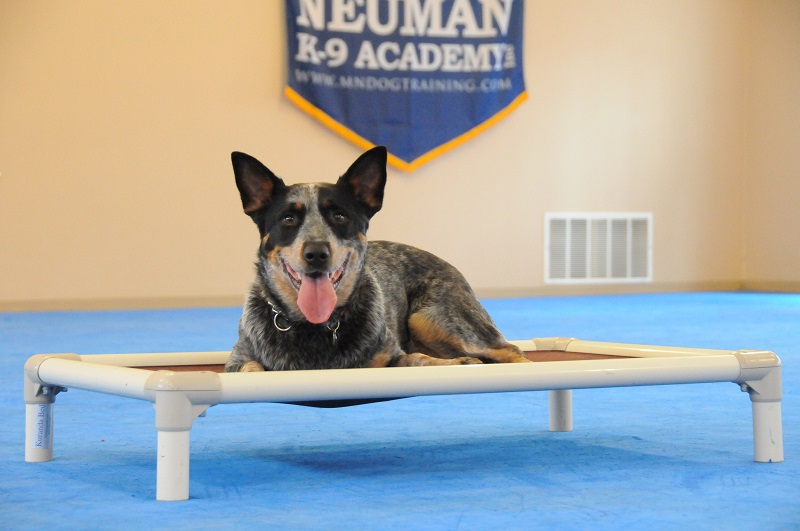 Blu (Australian Cattle Dog) - Boot Camp Dog Training