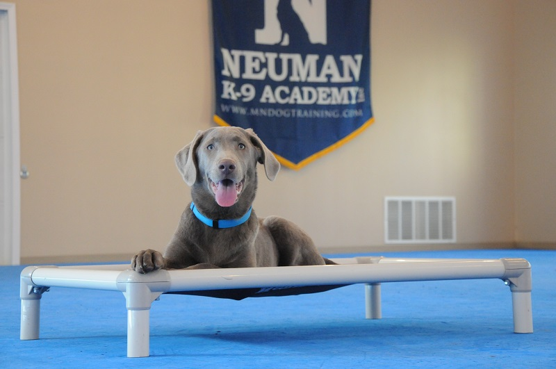 Blue (Silver Labrador Retriever) - Boot Camp Dog Training