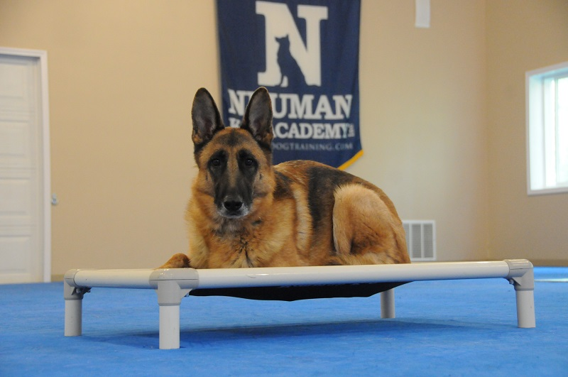 Bronson (German Shepherd Dog) - Boot Camp Dog Training