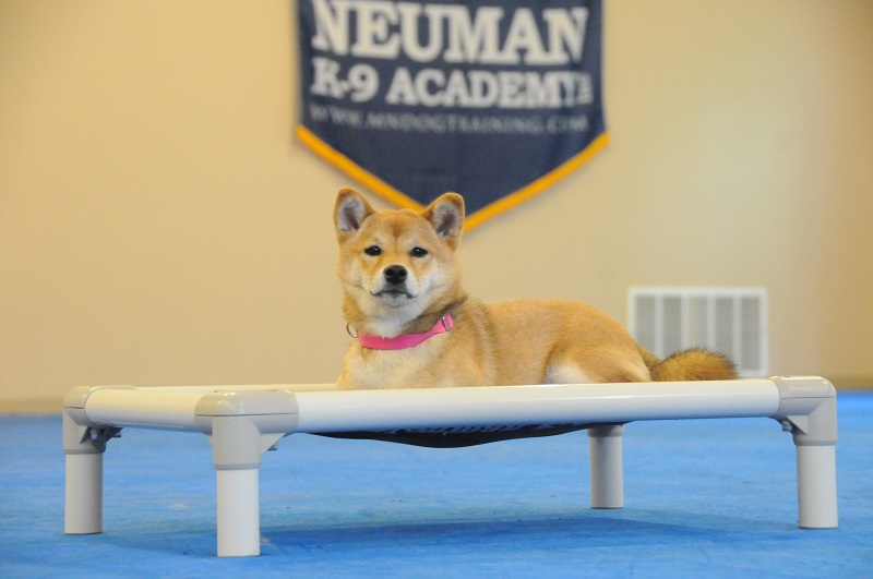 Ceilidh (Shiba Inu) - Boot Camp Dog Training