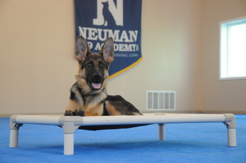 Celle (German Shepherd Dog) - Boot Camp Dog Training