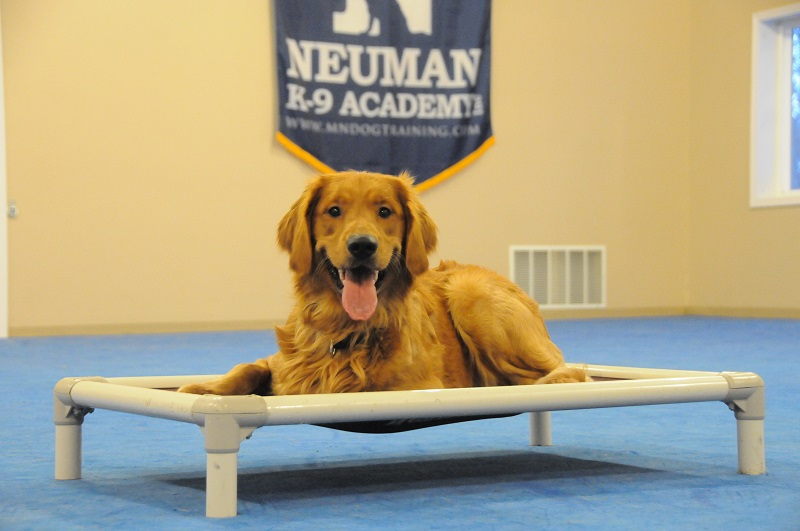 Charlie (Golden Retriever) - Boot Camp Dog Training