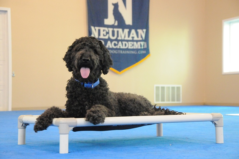 Charlie (Goldendoodle) - Boot Camp Dog Training