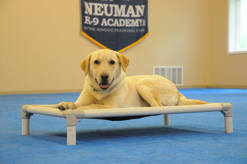 Chester (Labrador Retriever) - Boot Camp Dog Training