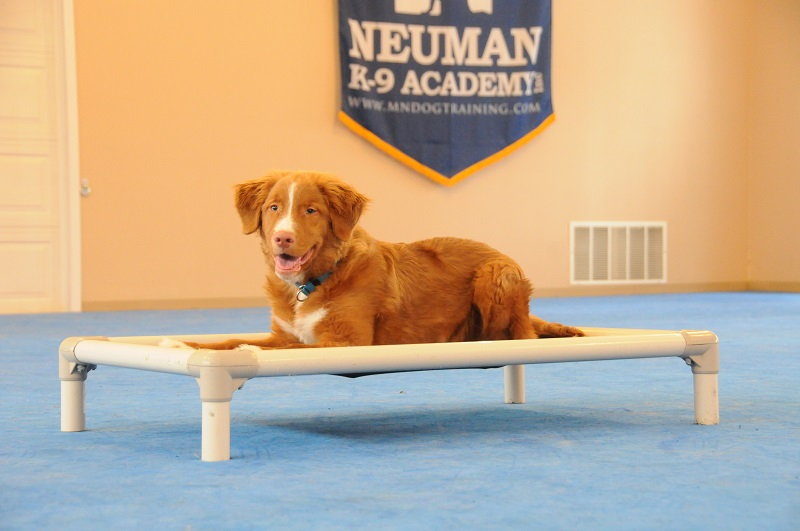 Chief (Duck Tolling Retriever) - Puppy Camp Dog Training