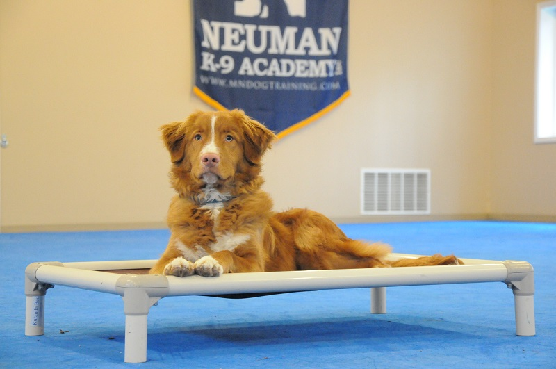 Chief (Nova Scotia Duck Tolling Retriever) - Boot Camp Dog Training