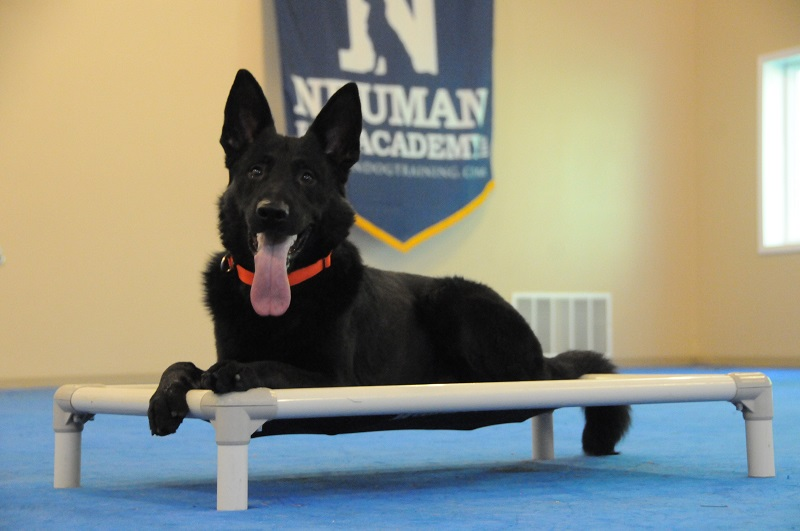 Chip (German Shepherd Dog) - Boot Camp Dog Training