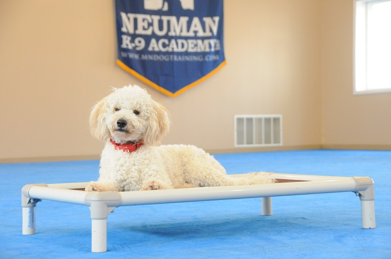 Cooper (Mini-Goldendoodle) - Boot Camp Dog Training
