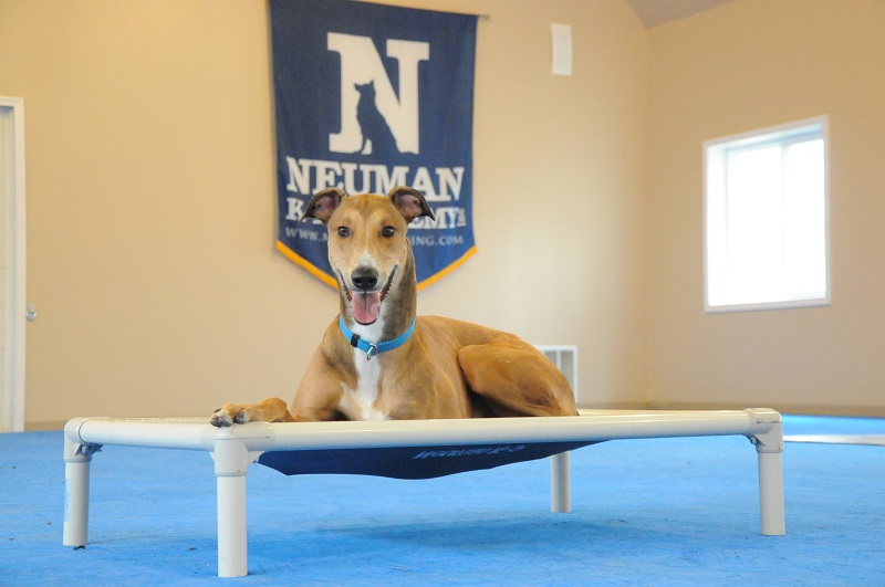 Cooper (Greyhound) - Boot Camp Dog Training