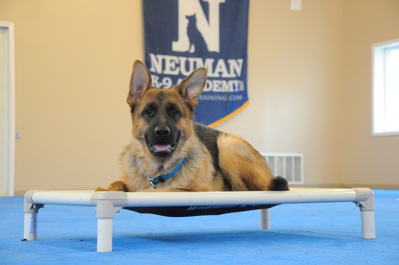 Crisp (German Shepherd Dog) - Boot Camp Dog Training