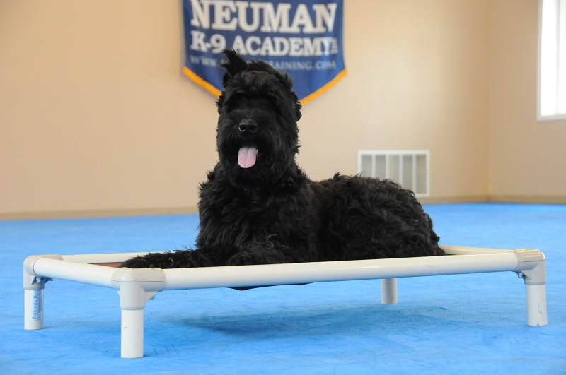 Daisy (Giant Schnauzer) - Boot Camp Dog Training