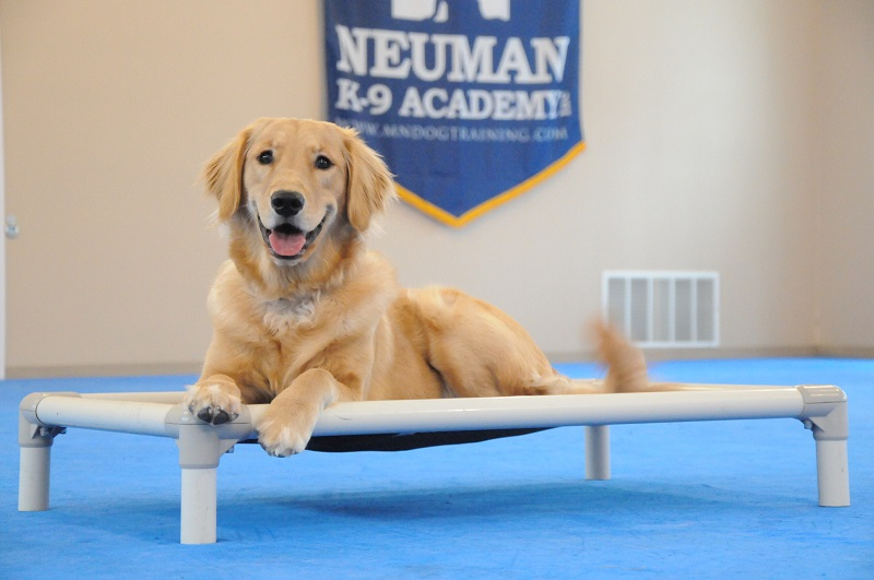 Female (Golden Retriever) - Boot Camp Dog Training