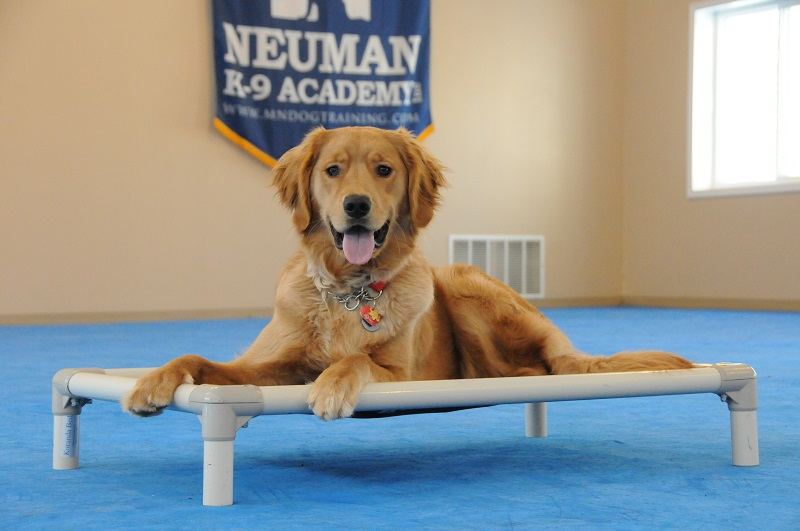 Dalton (Golden Retriever) - Boot Camp Dog Training
