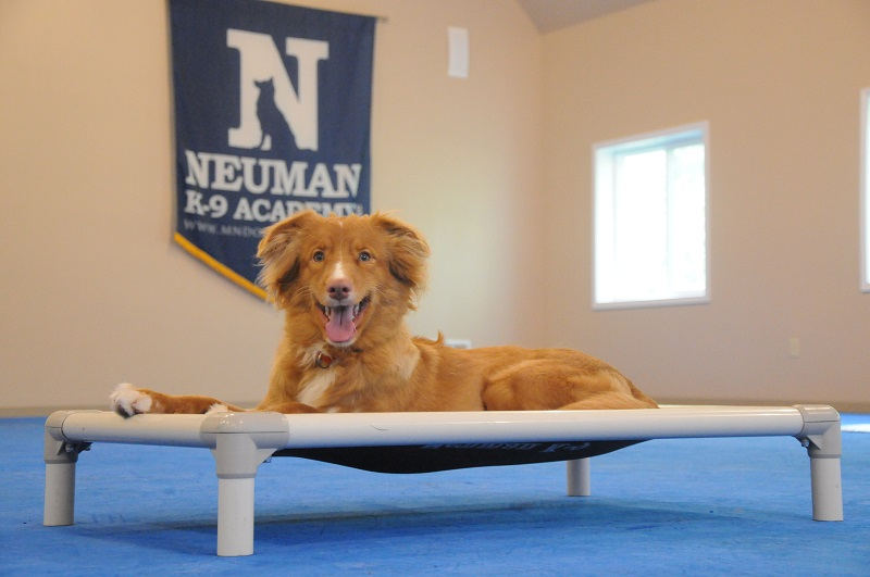 Derby (Nova Scotia Duck Tolling Retriever) - Boot Camp Dog Training