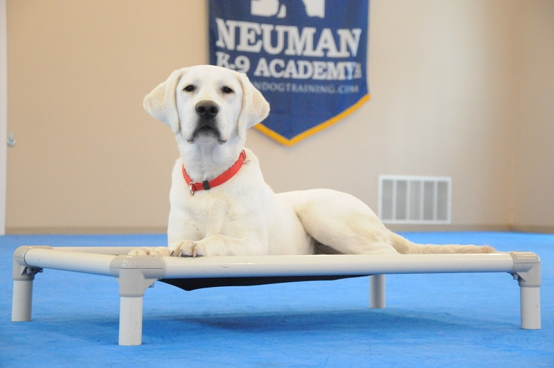 Everett (Labrador Retriever) - Boot Camp Dog Training