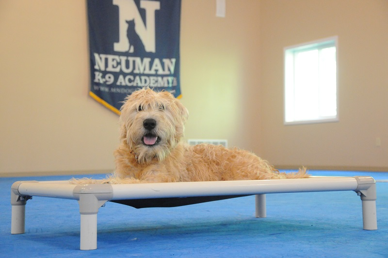 Fozzie (Irish Wheaten Terrier) - Boot Camp Dog Training