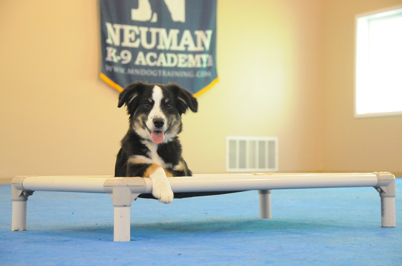 Frank (Australian Shepherd) - Puppy Camp Dog Training