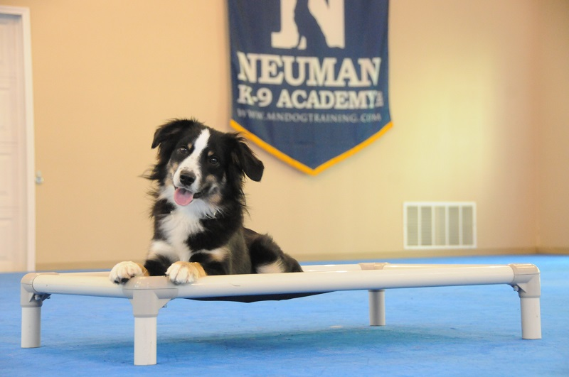 Frank (Australian Shepherd) - Boot Camp Dog Training