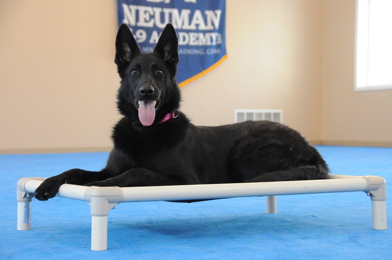 Frankie (German Shepherd Dog) - Boot Camp Dog Training