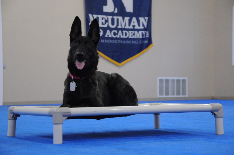 Freyja (Dutch Shepherd) - Boot Camp Dog Training