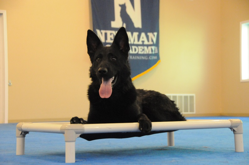 Gonzo (German Shepherd Dog) - Boot Camp Dog Training