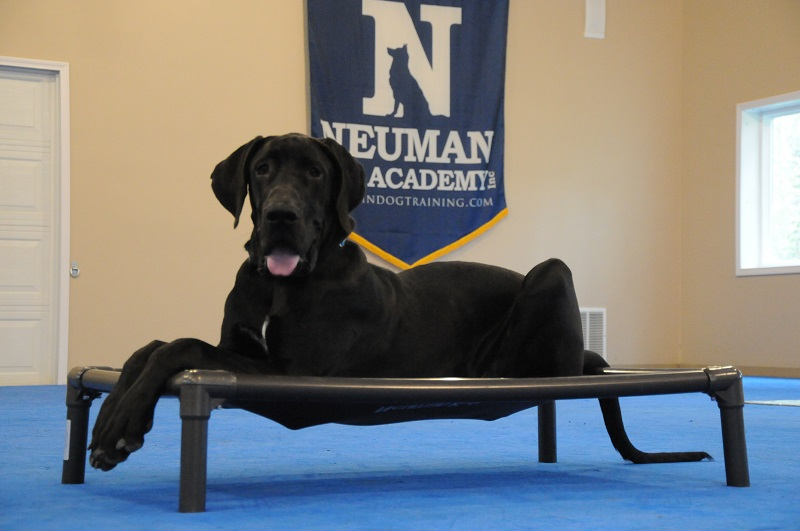 Gus (Great Dane) - Boot Camp Dog Training