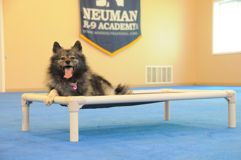 Harley (Keeshond Eskimo) - Boot Camp Dog Training