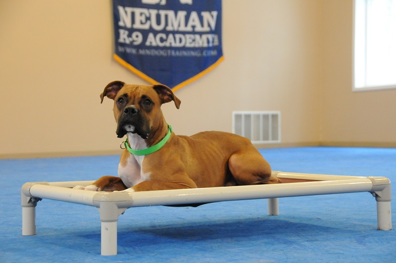 Howie (Boxer) - Boot Camp Dog Training