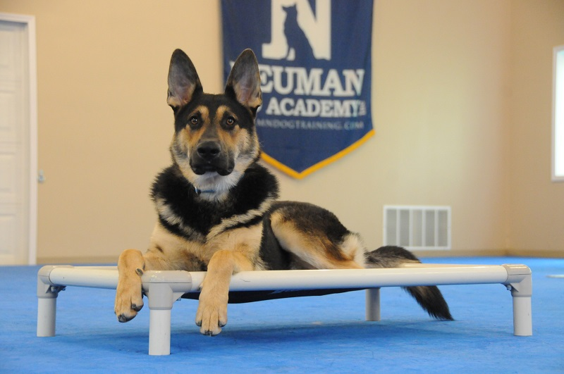Howie (German Shepherd Dog) - Boot Camp Dog Training