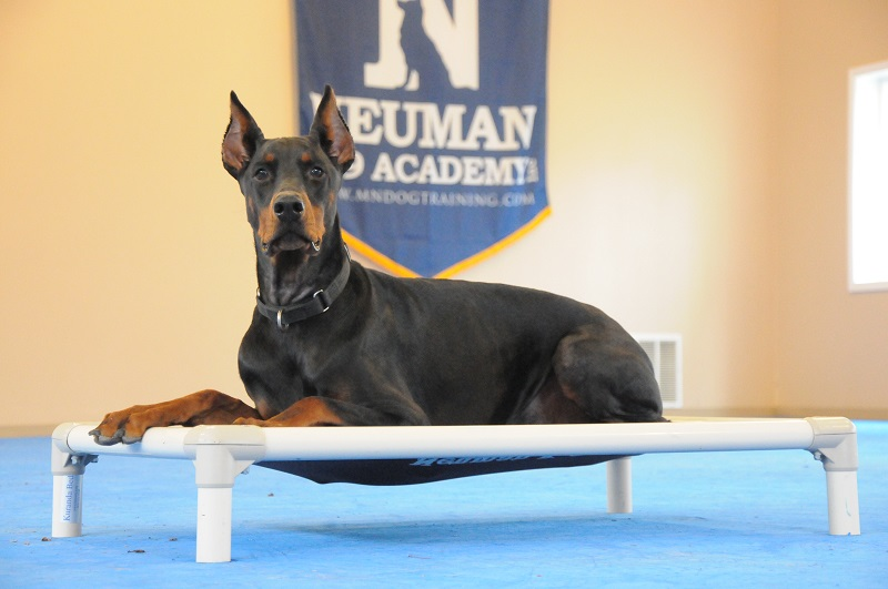 Indy (Doberman Pinscher) - Boot Camp Dog Training