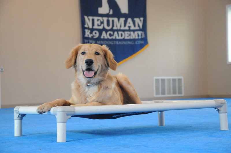 Jack (Golden Retriever) - Boot Camp Dog Training