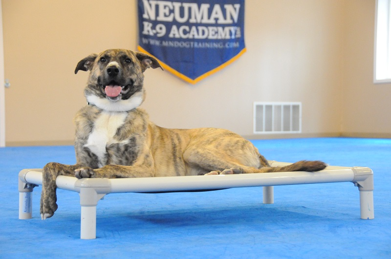 Jax (Tennessee Brindle) - Boot Camp Dog Training
