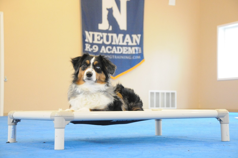 Jet (Mini-Australian Shepherd) - Boot Camp Dog Training