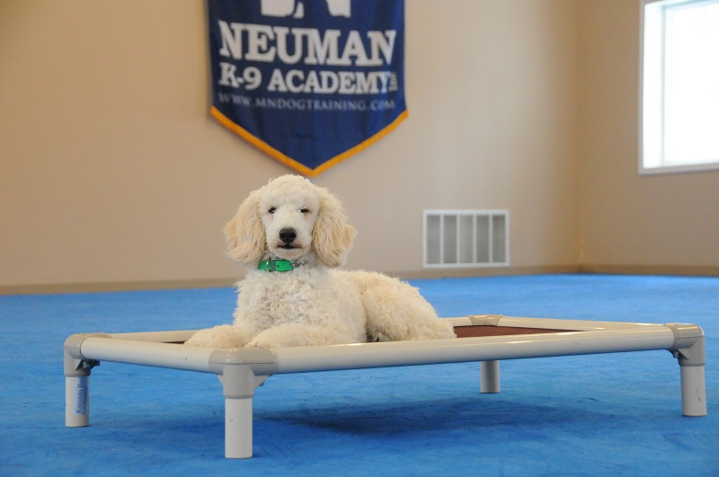 Joey (Miniature Poodle) - Boot Camp Dog Training