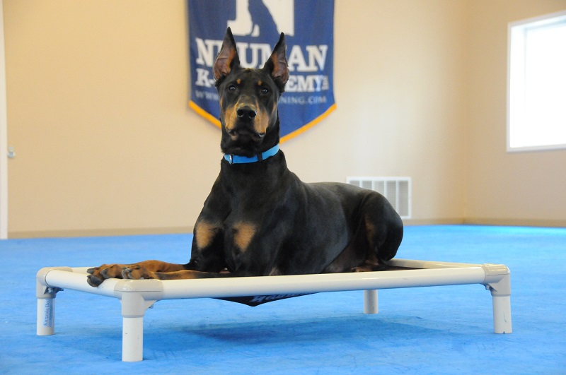 Keno (Doberman Pinscher) - Boot Camp Dog Training