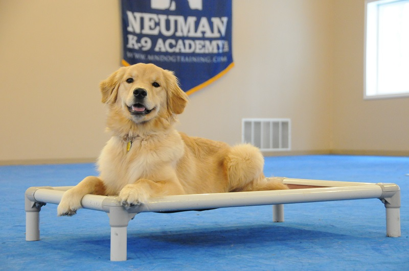 Lexie (Golden Retriever) - Boot Camp Dog Training